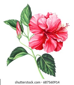 Red hibiscus with leaves and bud isolated on white background. Hand drawn watercolor illustration.