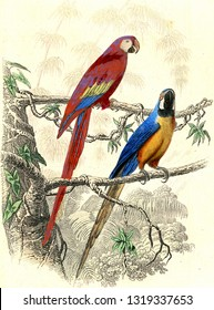The red macaw, The blue macaw, vintage engraved illustration. From Buffon Complete Work.