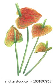 Red Pigtail Anthurium tropical flower. Hand drawn watercolor painting illustration isolated on white background.