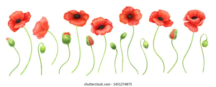 Red poppy frame on white backdrop.Anzac Day and Remembrance Day poppies background. Summer flowers.Wildflowers decoration. Hand drawn watercolor illustration.