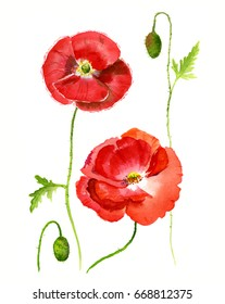Red poppy, watercolor painting. Hand drawing illustration isolated