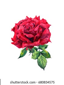 Red rose flower. Isolated watercolor illustration