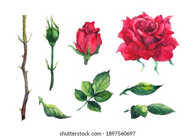 Red rose set - flower, leaves, buds, stem. Watercolor for Valentine day, wedding, save date card
