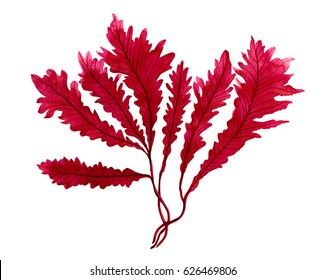Red Seaweed , kelp in the ocean watercolor hand painted element isolated on white background. Watercolor red seaweed illustration design. With clipping path.