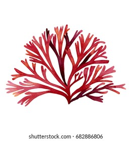 Red Seaweed,kelp, Algae,Coral in the ocean, watercolor hand painted element isolated on white background. Watercolor red seaweed illustration design.