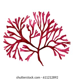 Red Seaweed,kelp in the ocean, watercolor hand painted element isolated on white background. Watercolor red seaweed illustration design. With clipping path.