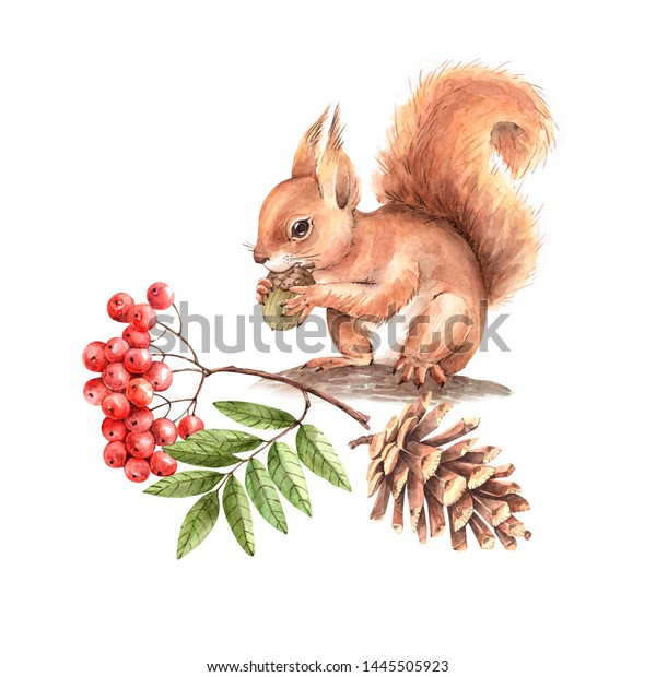 red squirrel on a tree with a branch of a mountain ash and a cone. drawing watercolor