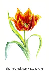 Red Tulip Davenport Terry with yellow edges. Watercolor sketch