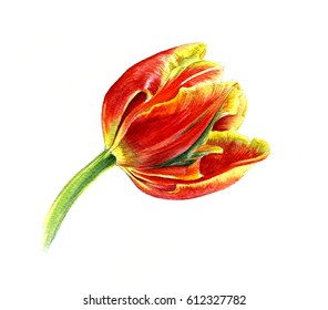 Red Tulip with yellow edges. Watercolor sketch