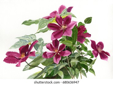 Red Violet Clematis.  Watercolor painting, illustration, of red violet flowers and vines with a white background.