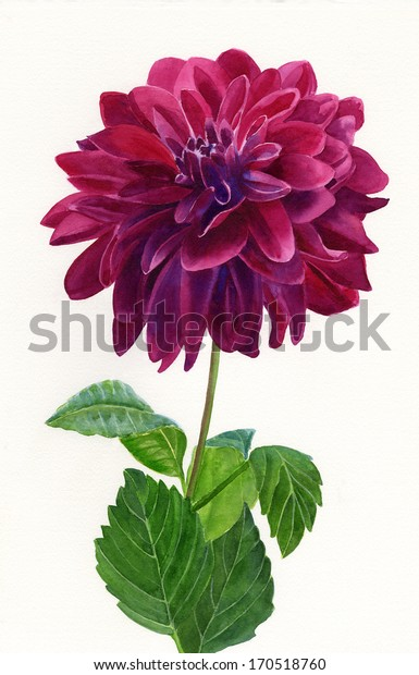 Red Violet Dahlia Blossom painted by hand in watercolor with a white background