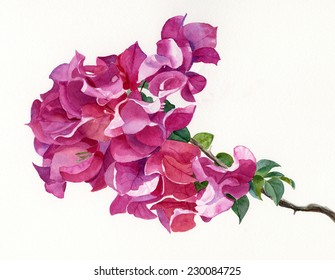 Red Violet and Pink Bougainvillea on a Branch.  Watercolor painting, illustration style, of a branch of red violet and pink blossoms of bougainvillea with a white background.