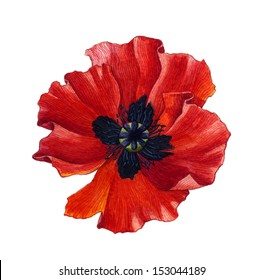Red Watercolor Poppy over white