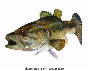 Redeye Bass 3D Illustration - The Redeye Bass is a popular freshwater game-fish which has a diet consisting mostly of insects.