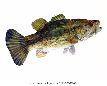 Redeye Bass Tail 3d illustration - The Redeye is species of freshwater bass fish found in lakes, rivers and streams of Georgia and Alabama, USA.