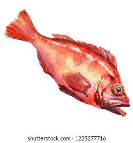 Redfish, the rose fish, Sebastes norvegicus, ocean perch, sea grouper, rockfish, isolated, hand drawn watercolor illustration on white background