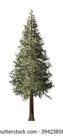 Redwood Tree Isolated on white background.
