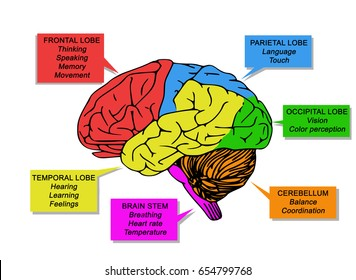 Regions and functions of the human brain