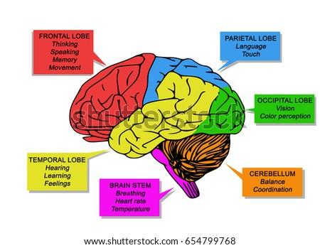 regions functions human brainのイラスト素材 654799768 shutterstock