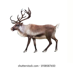The reindeer (Rangifer tarandus), realistic drawing, illustration for the encyclopedia of animals of the arctic, inhabitants of the tundra, isolated image on a white background