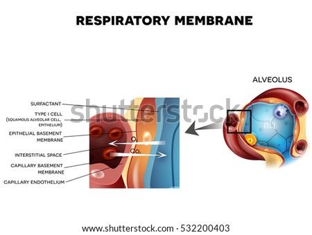 Respiratory Membrane Alveolus Detailed Anatomy Oxygen Stock