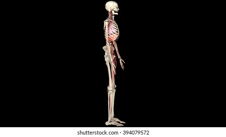 respiratory system and arteries, skeleton, side view