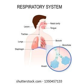 respiratory system: bronchiole and bronchi, diaphragm, trachea, alveoli and cross-section of the lungs. diagram for educational, medical, biological and science use