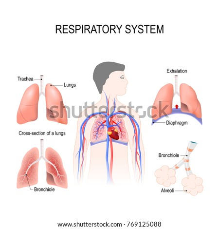 Respiratory System Bronchiole Bronchi Diaphragm Trachea Stock ...