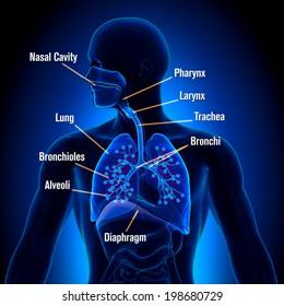 Respiratory System - Detailed View Anatomy