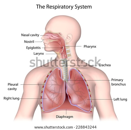 Respiratory System Labeled Stock Illustration 228843244 Shutterstock