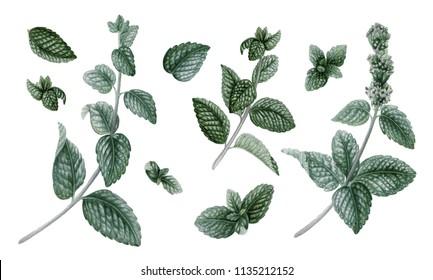 Retro set with pepermint. Floral design elements. Botanical illustration.