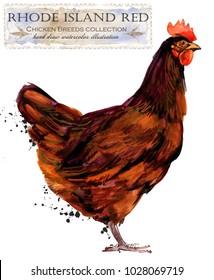 Rhode Island red hen. Poultry farming. Chicken breeds series. domestic farm bird