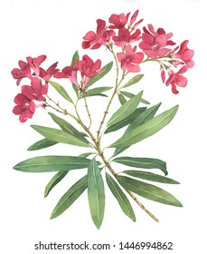 Rhododendron flower watercolor botanical illustration