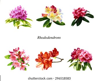 Rhododendron Poster.  Watercolor images of rhododendron blossoms, flowers, on a white background use as clip art.