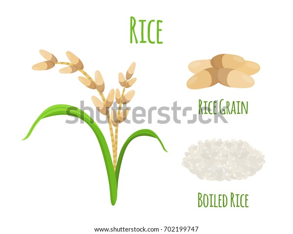 Rice plant, vegetarian food. Green harvest, oryza wheat. Raw rice seeds. Made in cartoon flat style