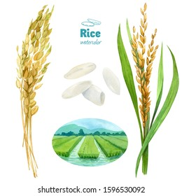 Rice plants, seeds and field hand-painted watercolor illustration set isolated on white background with clipping paths