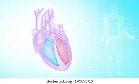 Right and left ventricles of the human heart 3d illustration