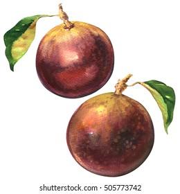 Ripe purple star apple fruit, chrysophyllum cainito isolated, watercolor illustration