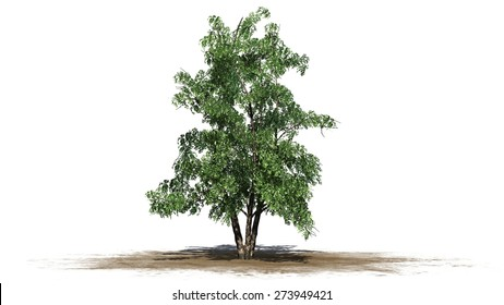river birch tree - isolated on white background