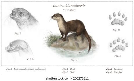 River otter (Lontra canadensis) field guide diagram - white (no background)