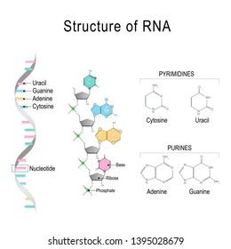 RNA (Ribonucleic acid). structural formula of adenine, cytosine, guanine and uracil. diagram for educational, medical, biological, and scientific use