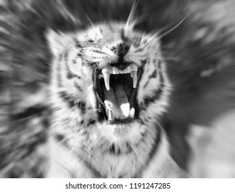 Roaring tiger,stylized as black and white picture