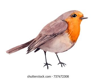 Robin bird. Watercolor