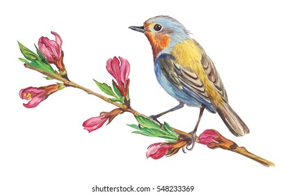 Robin on a flowering branch, watercolor drawing on a white background.