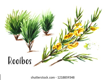 Rooibos plant, Aspalathus linearis. Watercolor hand drawn illustration, isolated on white background