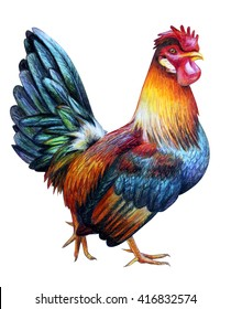 Rooster color drawing (Colored Dorking)