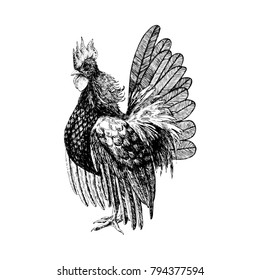 Rooster engraved. Hand drawn.