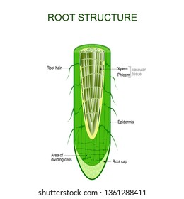 Root structure. Plant anatomy. The cross-section of the root with area of dividing cells, Xylem, Phloem, cap, epidermis, and hairs. illustration for biological, science,  and educational use.