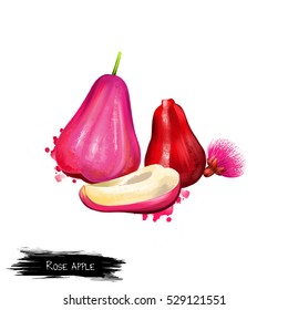 Rose apple fruit, leaf and flower isolated on white. Angophora costata woodland and forest tree. Smooth-barked apple, rose gum, rose apple or Sydney red gum. Digital art watercolor illustration