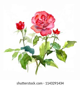 Rose branches  with red flowers and buds  on a white background,  watercolor sketch, hand drawing